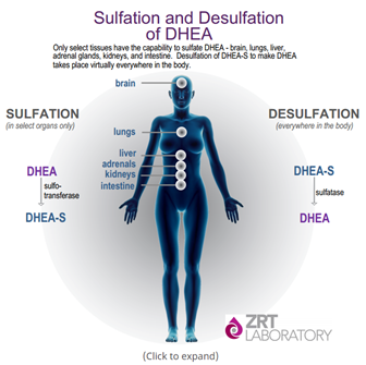 DHEA with and without sulfate