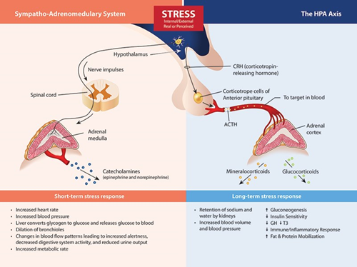 Stress HPA Axis Diagram