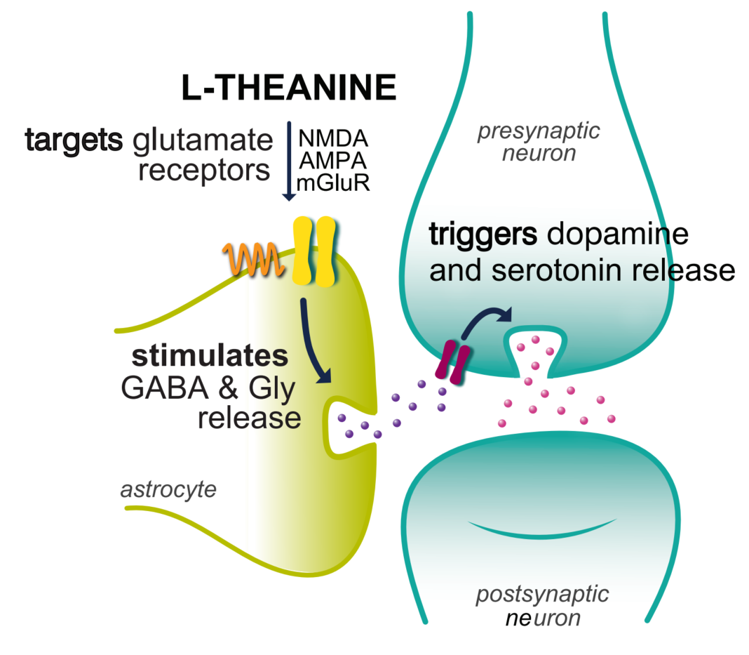 L-theanine neuro diagram