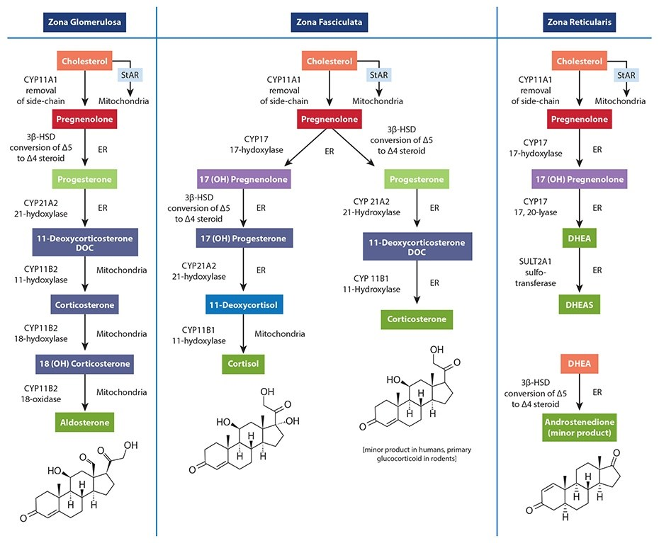 Steroid hormone pathway chart buy gold dragon nest