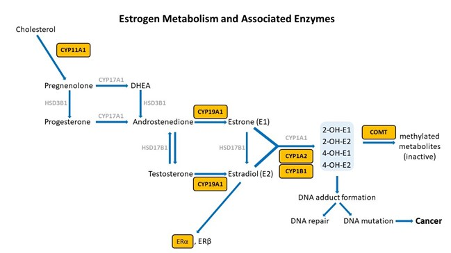 Estrogen Metabolism and Associated Enzymes