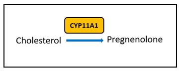 estrogen metabolism pathway